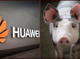 Huawei Starts Pig Farming